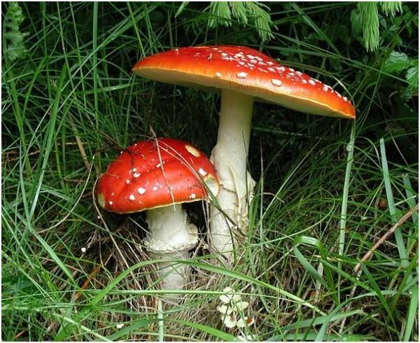 Tak wygląda muchomor czerwony/fot. Nagrzyby.pl