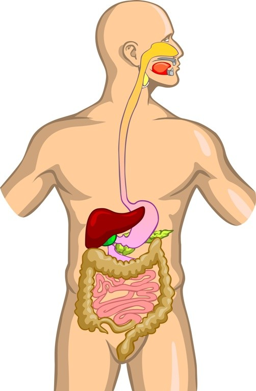 Żołądek i inne organy/fot. Fotolia